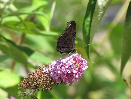 les-papillons-5522.JPG