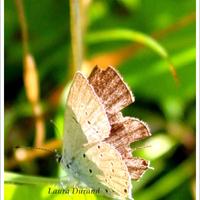 Argus frêle ou Cupido Minimus