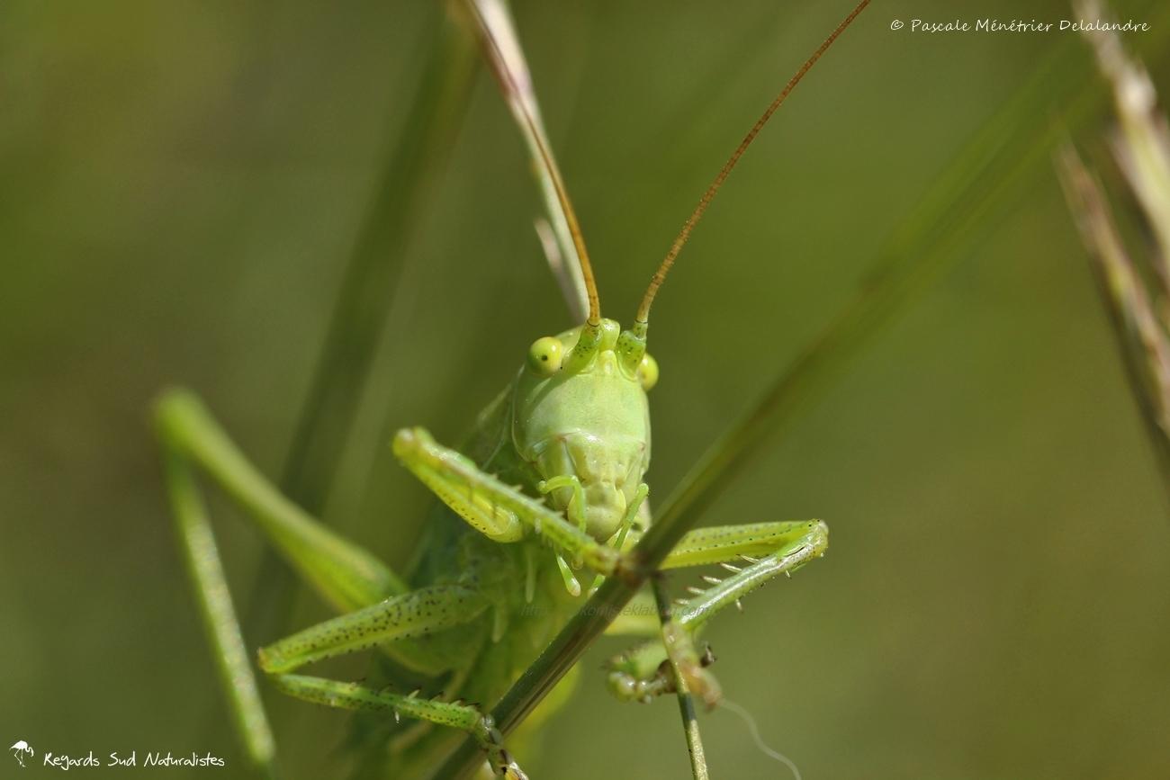 Tettigonia viridissima immature ♀