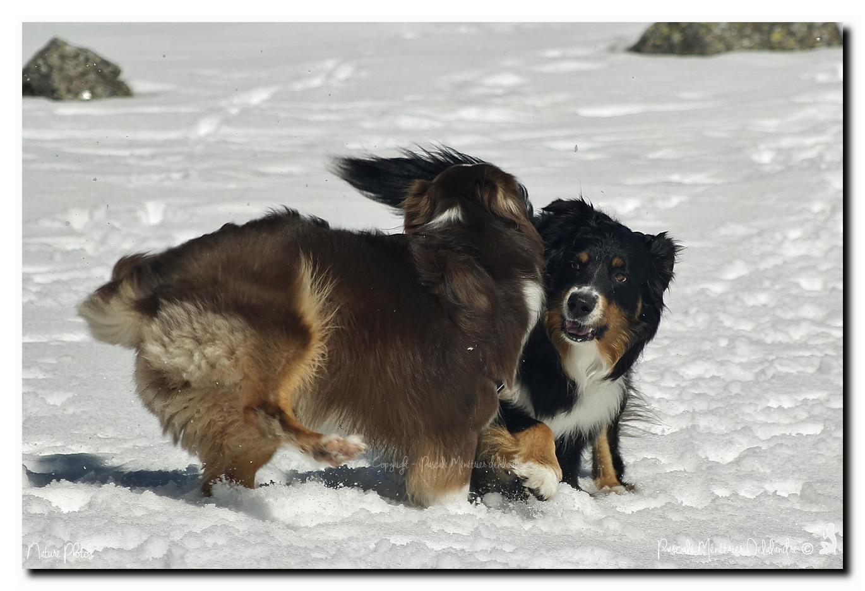 Gampo a rencontré une copine Berger Australien (rouge-merle avec fauve et blanc)
