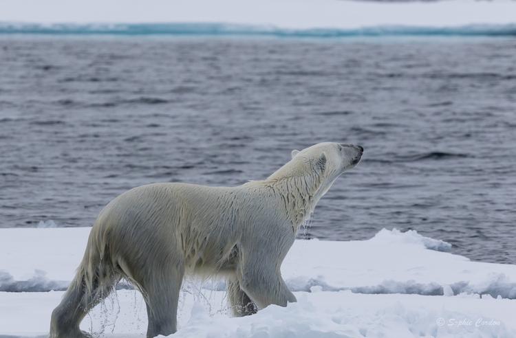 Les (més)aventures de l'ours nageur