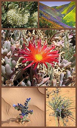 fleurs-desert.jpg