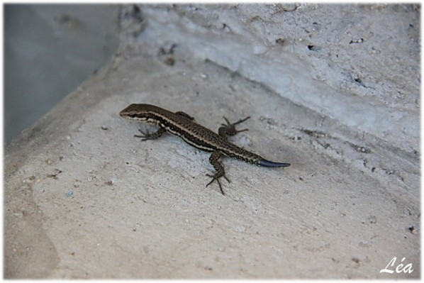 Reptiles-4577-lezard.jpg