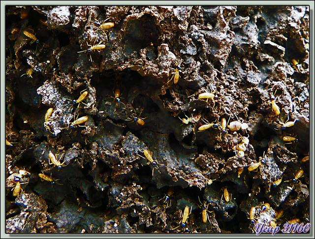 Blog de images-du-pays-des-ours : Images du Pays des Ours (et d'ailleurs ...), Termites - Parque Nacional Cahuita - Puerto Viejo de Talamanca - Costa Rica