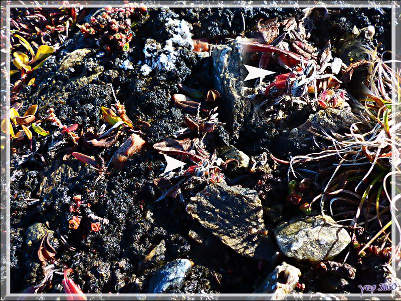 Araignées Lycoses ? - Dundas Harbour - Baffin Bay - Nunavut - Canada
