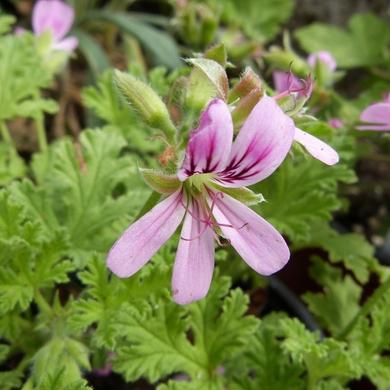 Les pélargoniums odorant de Fleurs de Gascogne...