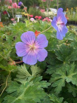 geranium-rozanne 1