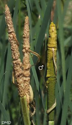 Typha latifolia  -  massette à larges feuilles