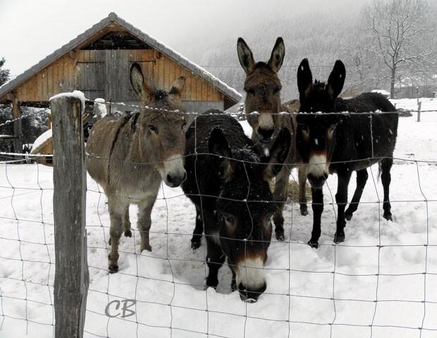 quatre ânes