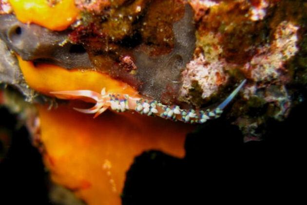 Nudibranche de Nouvelle-Calédonie