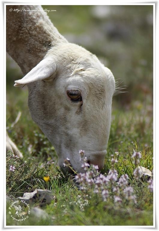 Moutons Caussenarde des garrigues