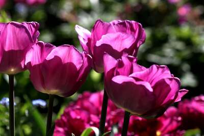 Tulipes 2014 : Magic Lavender