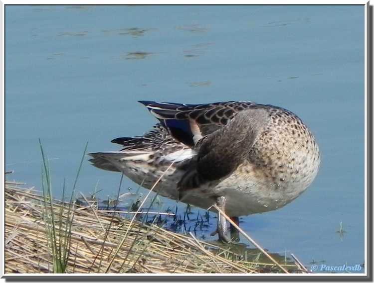 Parc ornithologique du Teich - canard pilet