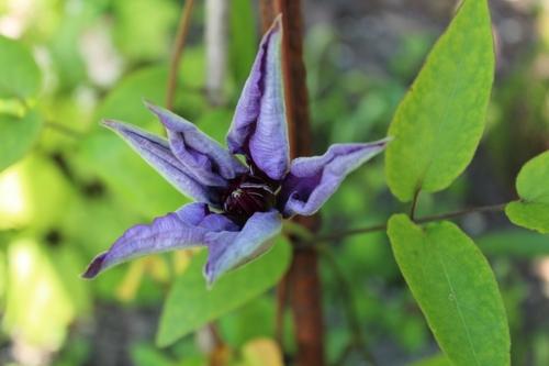 Magnifique fleur de clématite
