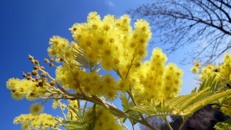 Le mimosa en fleurs !
