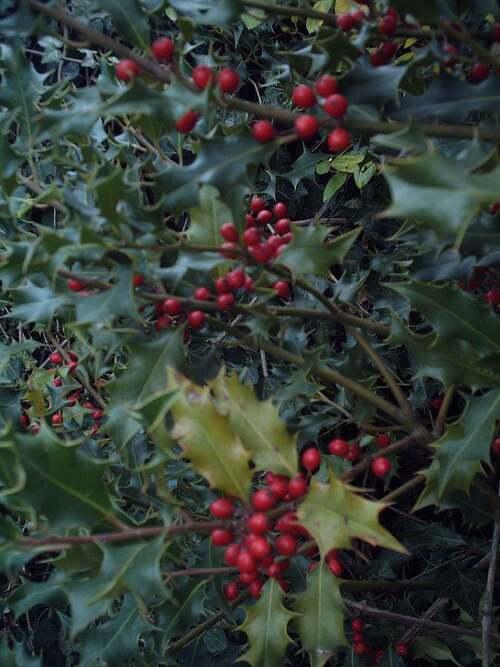 Vertus médicinales des plantes sauvages  : Houx