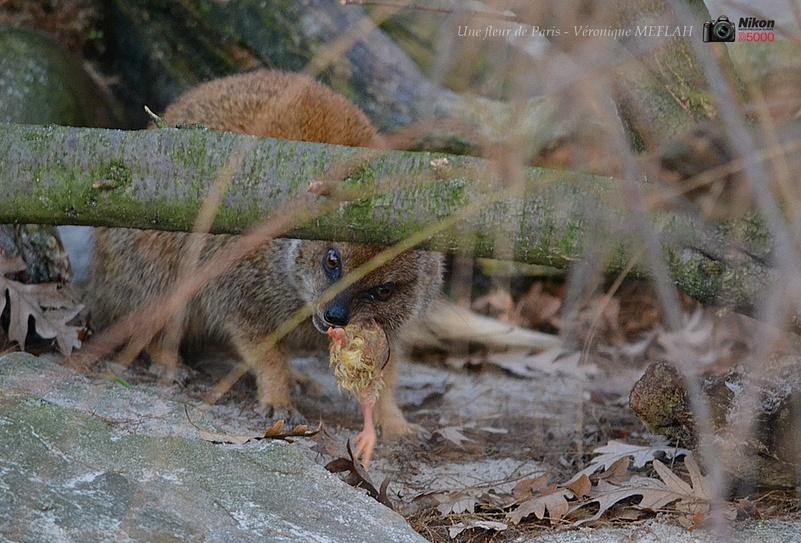 Ménagerie du Jardin des Plantes : Le repas de la Mangouste Fauve