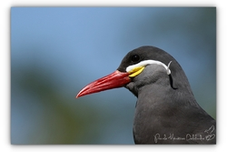 Sterne Inca - Parc des oiseaux