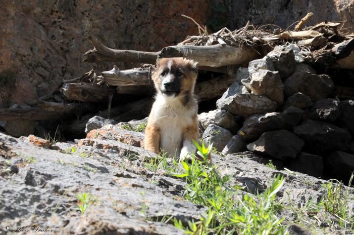 La faune des monts Fanskye, chien, Tadjikistan