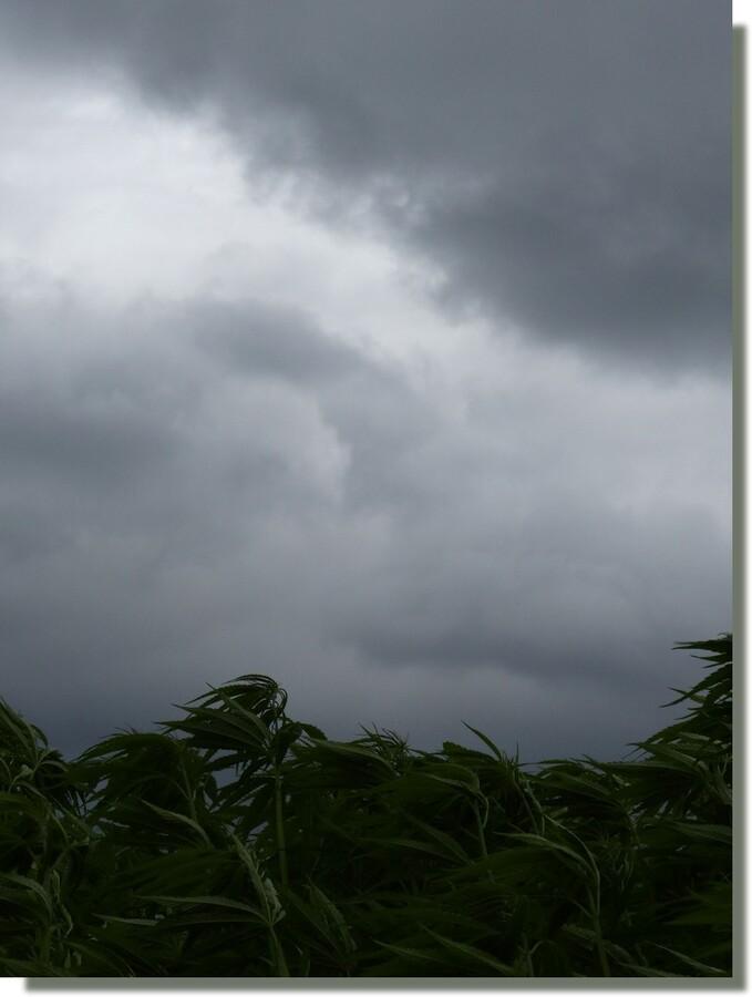 à en faire tourner la tête...des cannabis (nom latin du sassafras)