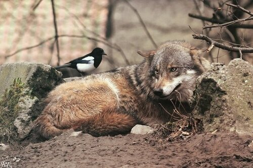 La louve et la pie