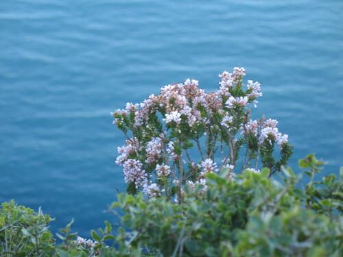 Les bruyères sont en fleur