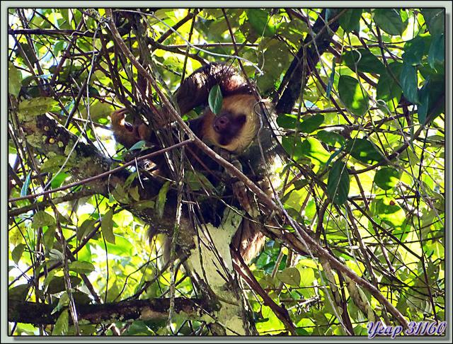 Blog de images-du-pays-des-ours : Images du Pays des Ours (et d'ailleurs ...), La sieste de l'Unau (paresseux à 2 griffes) d'Hoffmann (Choloepus hoffmanni), Tortuguero, Costa Rica
