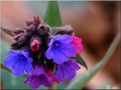 Pulmonaire officinale