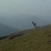 Vautour fauve (Gyps fulvus)