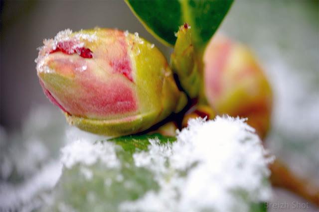 Un bouton de camélia et la neige