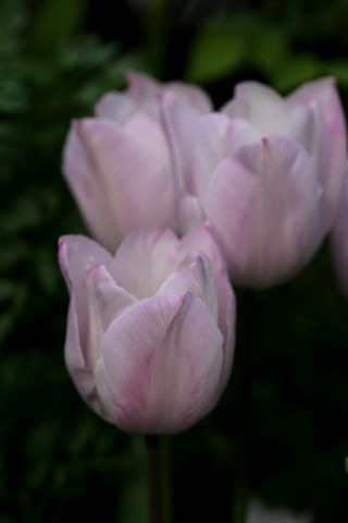 Tulipes 2018 : Silver Cloud