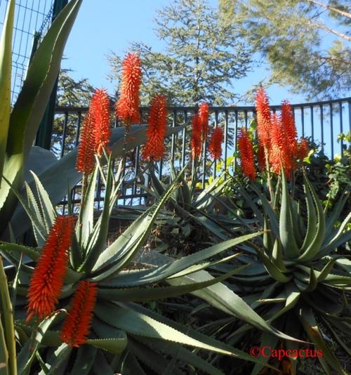 Vertus de l'aloe veraL'aloe vera est une plante médicinale des plus puissantes et des plus connues. Son usage remonte à plus de 5000 ans. Des traces dans de nombreuses civilisations (Médecine traditio