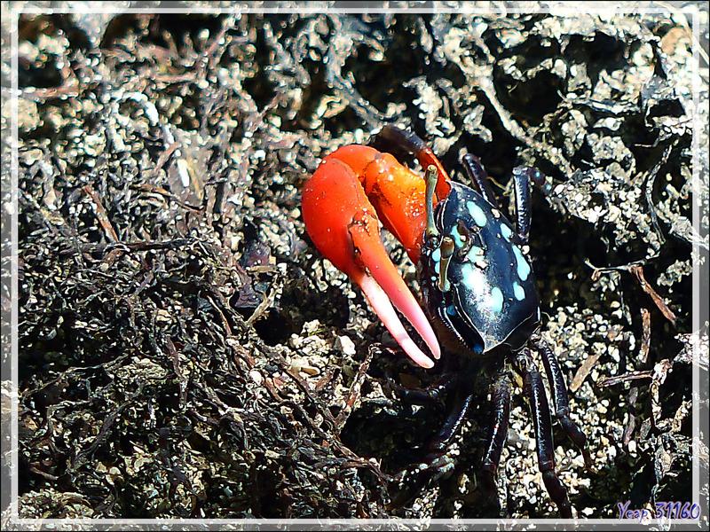 Crabe violoniste commun mâle, Common fiddler crab (Uca tetragonon) - Huahine - Polynésie française