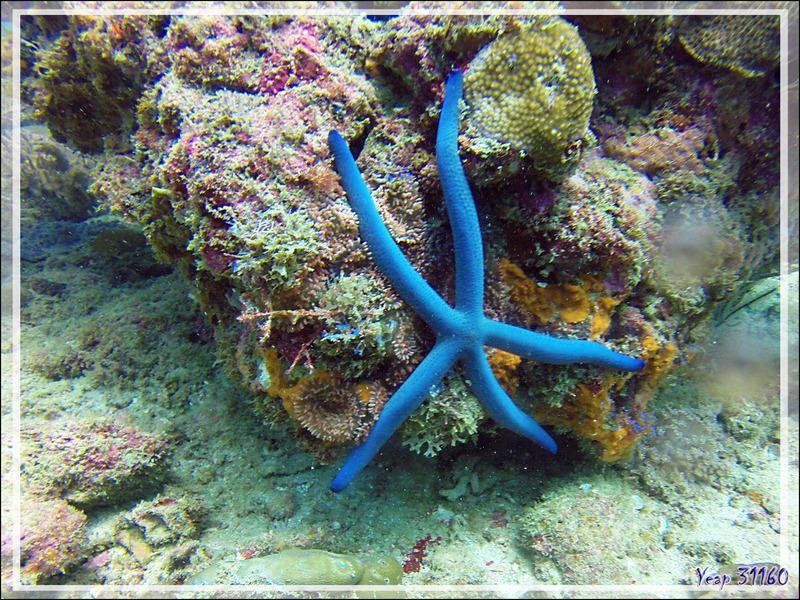 Etoile de mer bleue, Linckia bleue, Etoile-comête bleue, Blue sea-star, Blue Linckia (Linckia laevigata) - Nosy Mitsio - Madagascar