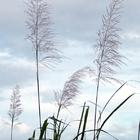 Flèches de canne dans le vent (Novembre 2013) - Photo :Yvon