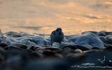 Bécasseau sanderling - p245