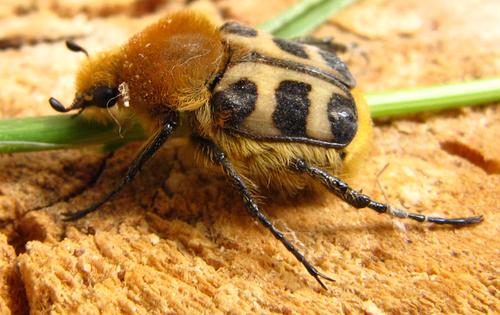 Insectes : Trichie Fasciee