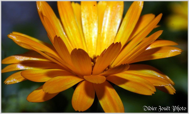 Souci / Calendula officinalis