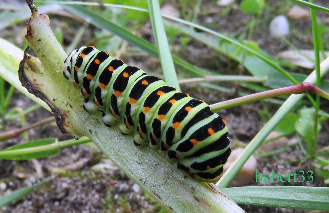 une chenille - papillon