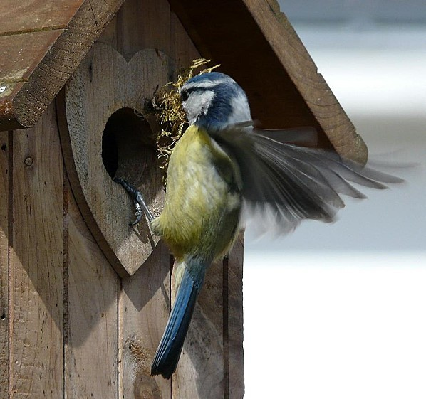Mesange-bleue-prepare-son-nid--31-03-10-022.jpg