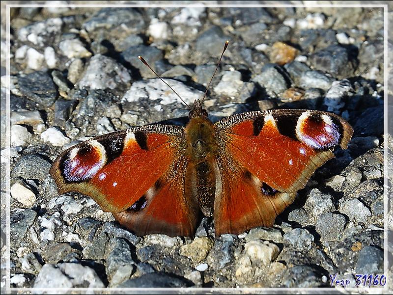 Papillon Paon du jour, Peacock butterfly (Aglais io) - Milhas - 31