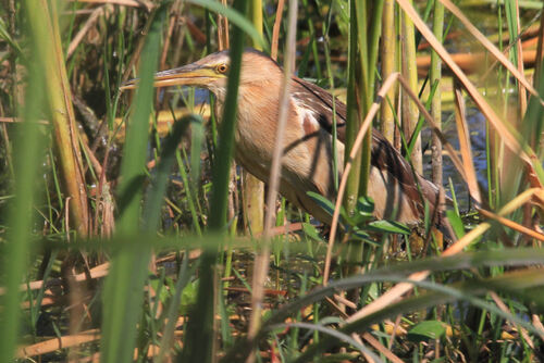 Blongios Nain (Little Bittern)
