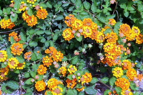 Lantana : des fleurs !