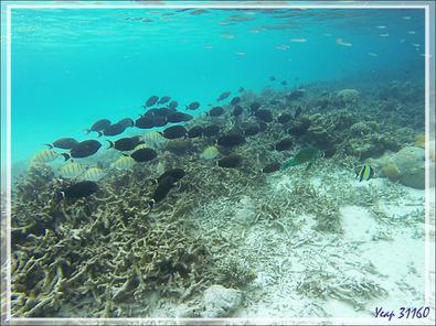 """Le désastre corallien et des essais de réhabilitation des coraux """"corne de cerf"""" - Moofushi - Atoll d'Ari - Maldives"""