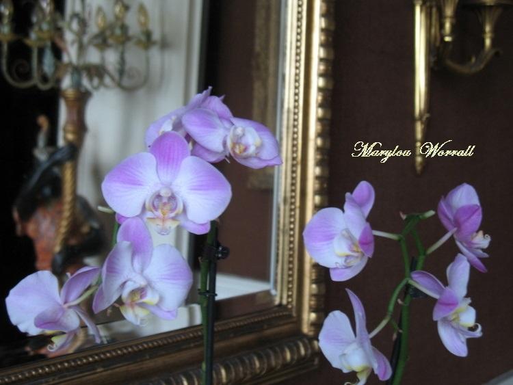 Nouvelle orchidée sauvée