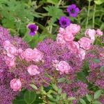 La photo du moment...rosier petite françoise et sédum brilliant