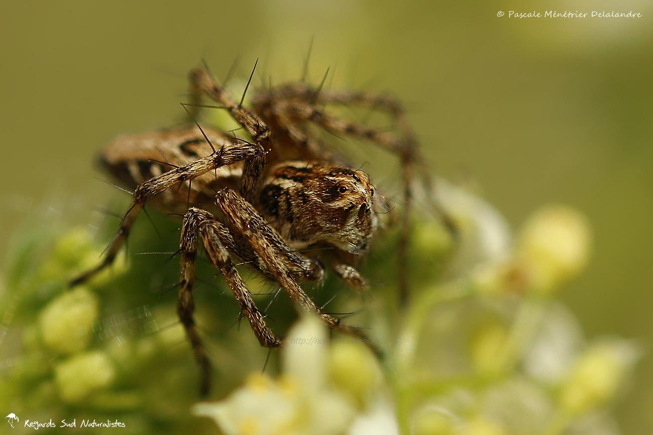 Araignée Lynx - Oxyopes heterophthalmus