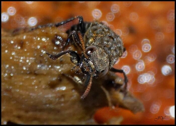 Ontholestes (murinus)