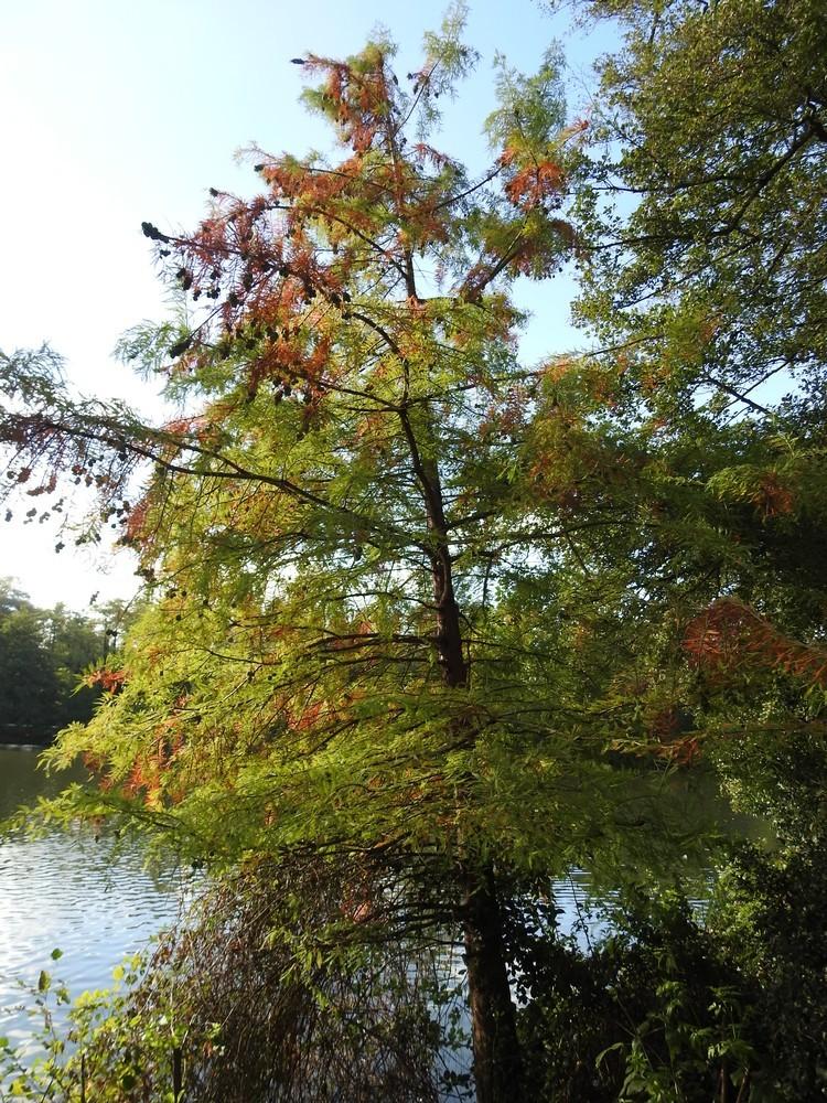 Les 8 cyprès chauves du Parc de Bourran à Mérignac...