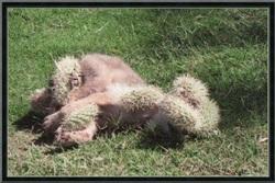 Coyote couvert d'épines